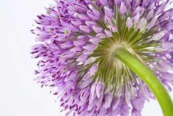 Giant allium reaches heights of 5 to 6 feet at maturity.