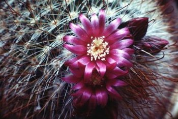 Use a high-phosphorus fertilizer to promote flowering in cactus.
