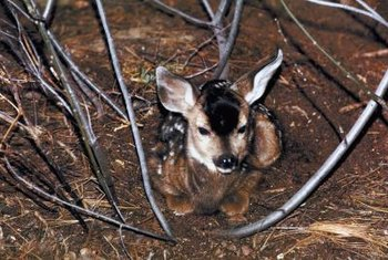 A mule deer fawn rests in a shady area.