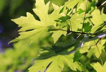 Maples are susceptible to a long list of pests and diseases.