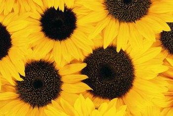 Sunflowers Brighten Gardens And Bouquets.