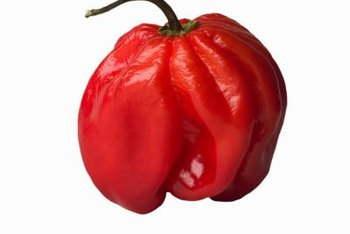 Red habanero peppers produce mature fruit in late summer.