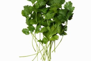 The most flavorful cilantro comes from small, immature leaves.