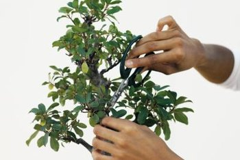 Pruning a ficus bonsai maintains its harmonious form.