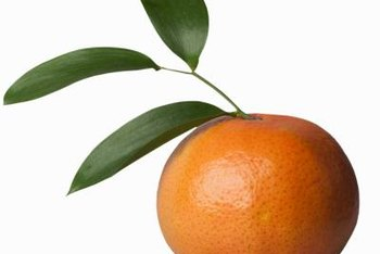 Mandarin oranges are evergreen and have very fragrant flowers.