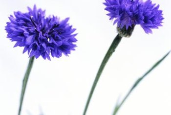 Cornflowers (Centaurea cyanus) attract pollinators with their bright blue colors.