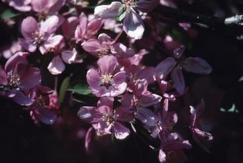 Crabapple trees typically prefer moist soil and full sun, but some tolerate partial shade.