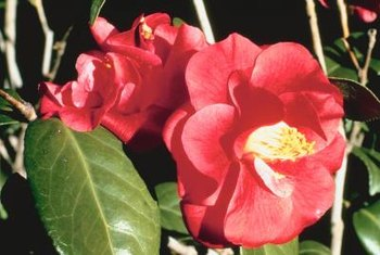 Camellias have glossy foliage with ivory, crimson or pink blooms.