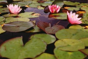 Water lilies create a concealing effect on a pond's surface.