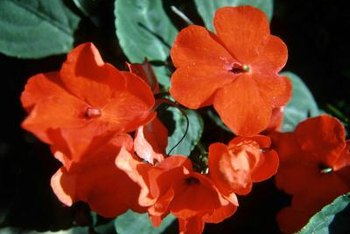 Impatiens come in shades of red, pink, white and lavender.