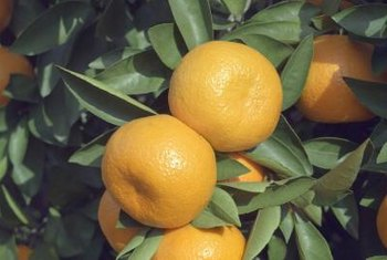 Satsuma fruit's thin skin is exceptionally easy to peel.