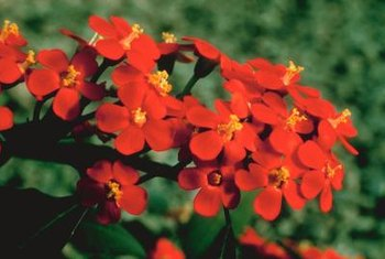 Euphorbia plants often have red flowers.