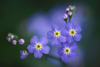 Forget-me-nots add beautiful blue notes to the garden.