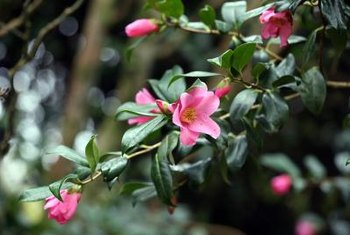 Camellias grow best in partial shade.