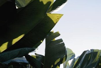 Protect your banana plant from wind to prevent tearing of the leaves.