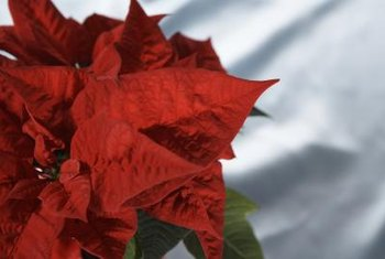 Keep The Poinsettias And Help Them Turn Red For Next Year