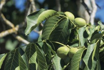 Healthy, mature walnut trees bear edible fruit.