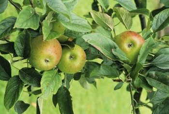 Apple trees in the home garden are productive for years with care.