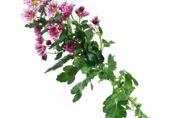 Sweet William works well in rock gardens and dry areas.