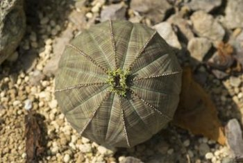 The baseball plant is sometimes also known as the sea urchin cactus.
