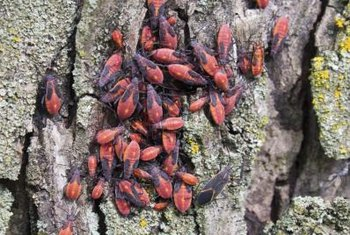 Boxelder bugs congregate on sunny patches of tree bark.