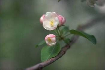 The pinkish-white blossoms of apples emerge in spring.