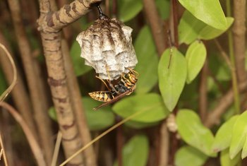 Yellow jacket nests can house up to 15,000 insects by season's end.