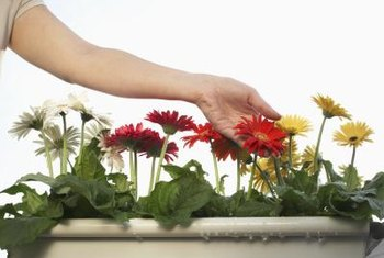 Grow long-lasting, colorful gerbera daisies (Gerbera jamesonii, USDA zones 8 through 10) as filler flowers or in their own containers.