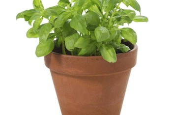 Basil can regenerate after being cut back.