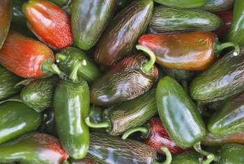 Jalapenos are nightshades, related to tomatoes (Lycopersicon esculentum).