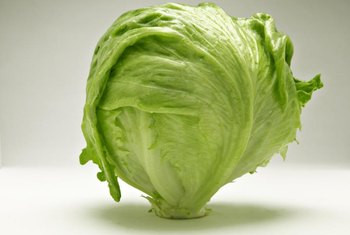 Head lettuce, often called iceberg, forms a tight head.
