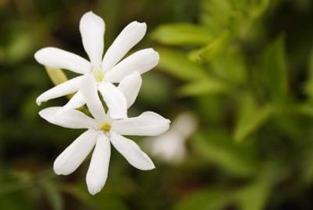 Poet's jasmine is a vine that produces white, fragrant flowers.