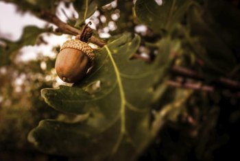 During stressful periods, oak trees will drop acorns to redirect its energy from producing seeds.