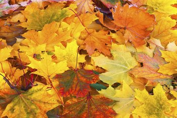 The colors of fall leaves depend on pigment shifts.