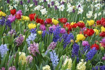 Hyacinths, tulips and daffodils combine for a lively spring display.
