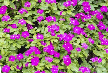 Grow vincas as annuals in climates colder than USDA zone 9b.