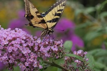 Butterfly flowers come in clusters of purple, pink or white.