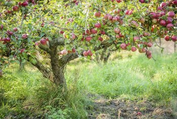 Plant your apple tree in an area that receives full sun.
