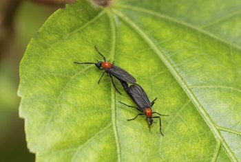 Mating lovebugs on a leaf.