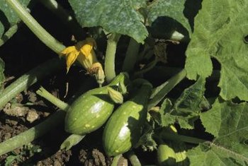 Squash develop from the plant's female flowers, once bees transfer pollen from male flowers.