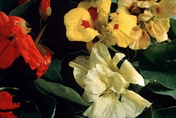 Nasturtiums are available in gem tones of gold, orange, yellow, rose and crimson.