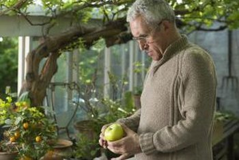 If you grow apples in a greenhouse, move them outdoors for a winter chill.