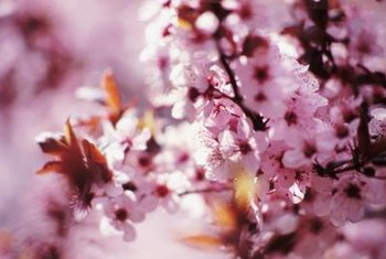 Sand cherry shrubs and trees are extremely susceptible to disease.