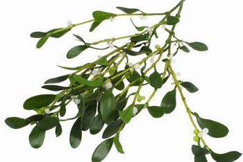 Mistletoe is a parasite, stealing water and nutrients from its host.