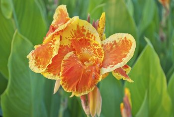 Canna flowers can have complex color patterns on the petals.