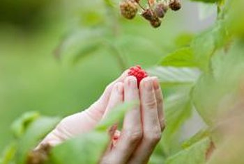Insect damage to raspberries may open the doors to fungi and bacteria.