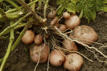Potatoes grow from seedling potato stems, and not from their roots.