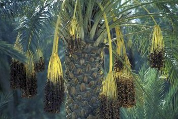 One date palm tree produces many dates.