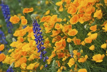 Use arroyo lupines for wildflower meadows in your yard.