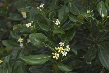 Both variegated and non-variegated forms of pittosporum feature rounded, glossy leaves.